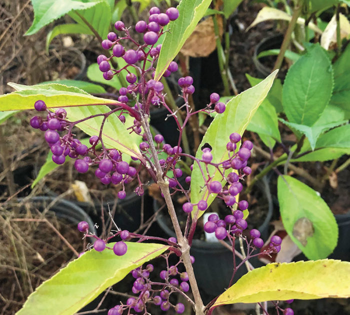 Willowleaf beautyberry