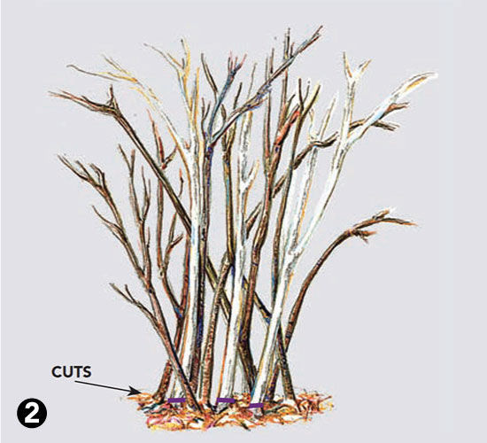 where to cut for pruning beautyberries