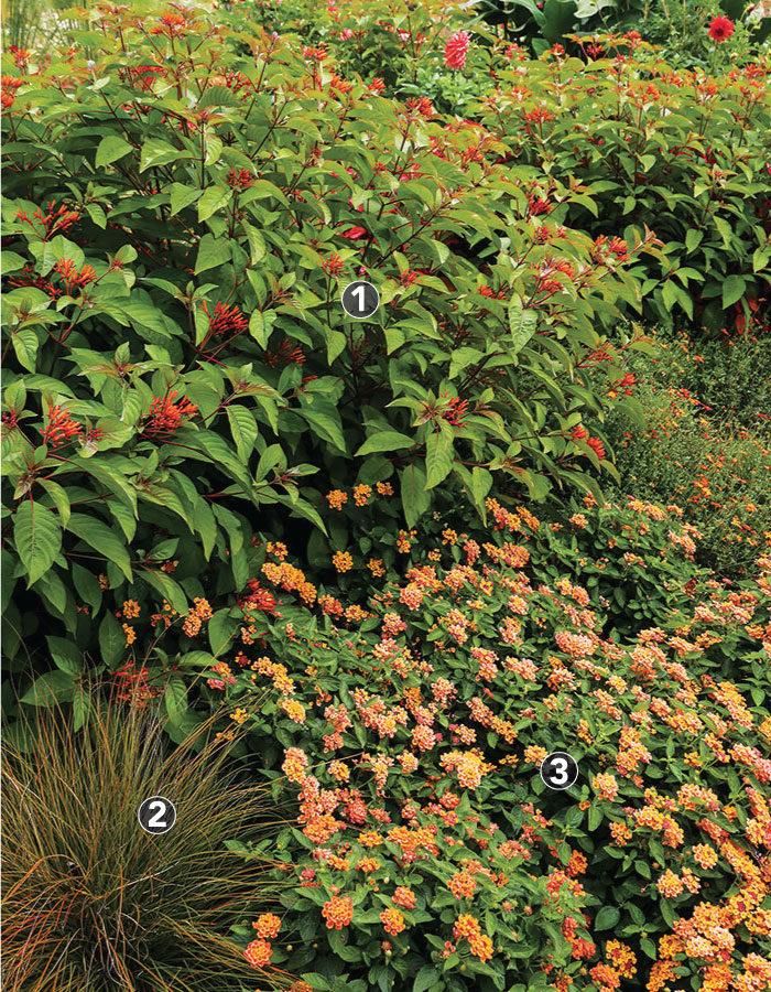 Scarlet bush