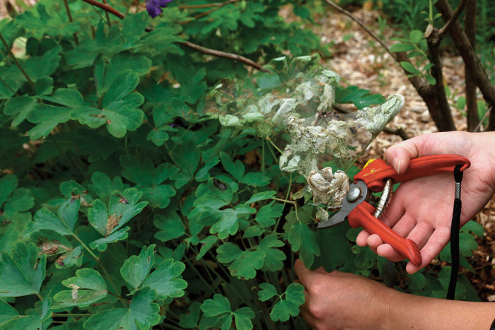pruning out a branch or leaf infested with insects