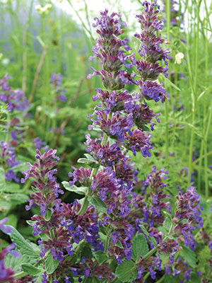 'Purple Haze' Catmint