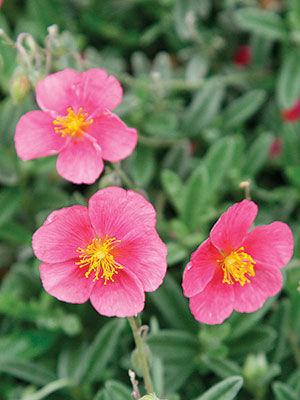 'Belgravia Rose' Sun Rose