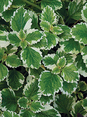 Variegated Mintleaf