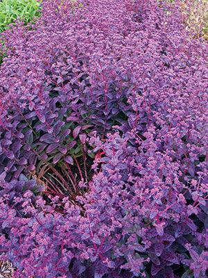 'Purple Emperor' Sedum