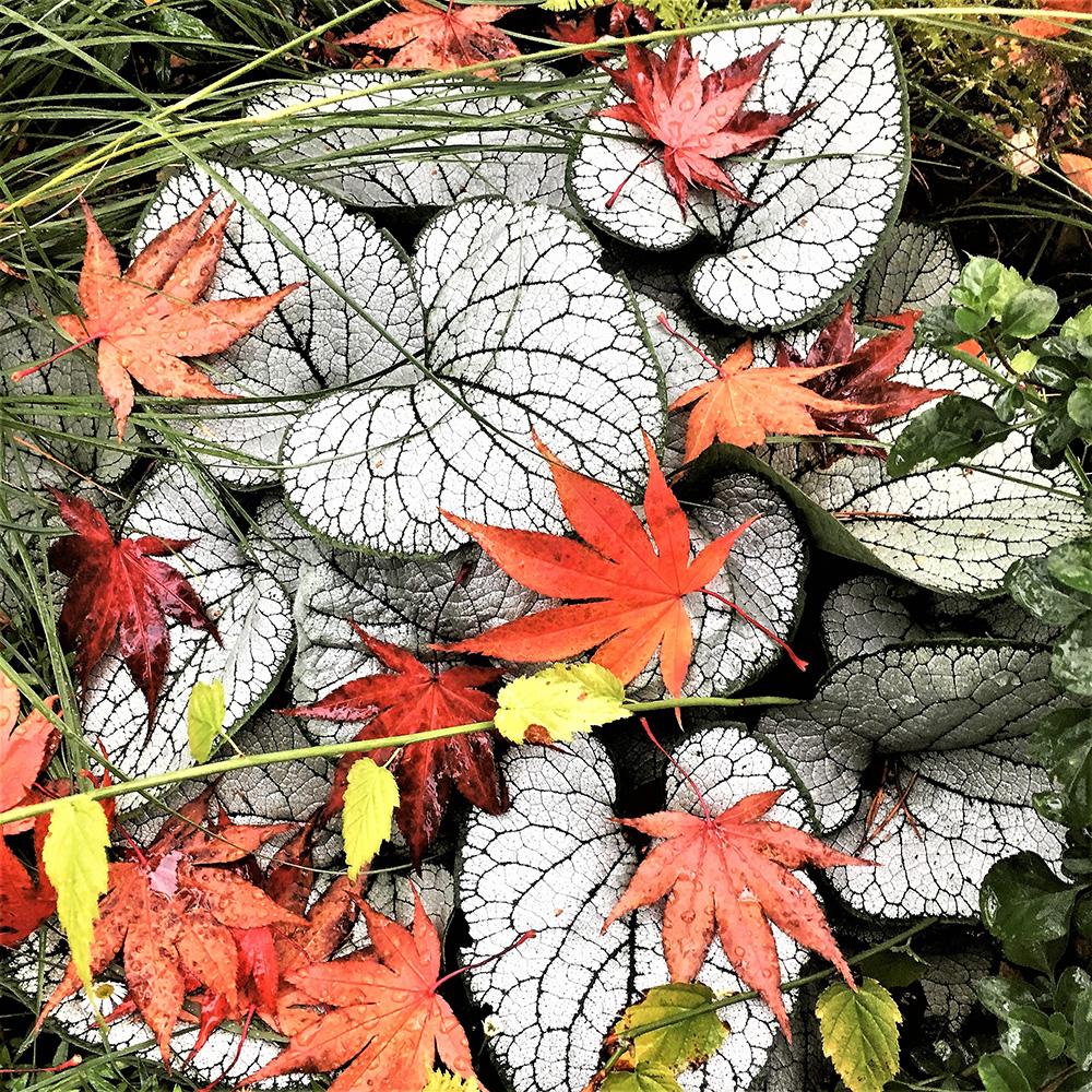 Oaskazuki Japanese maple leaves