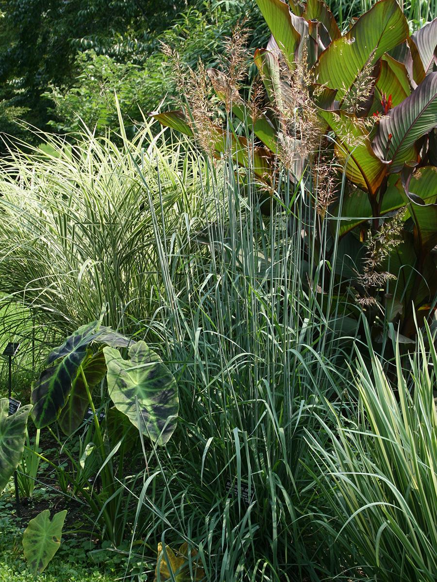 Sioux Blue Indian grass