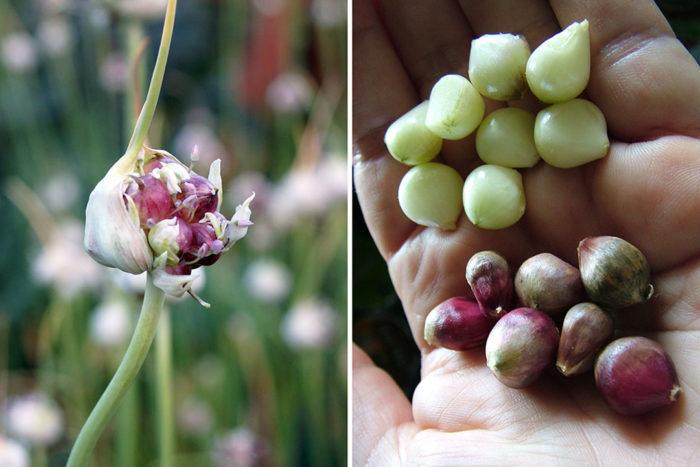 garlic bulblets
