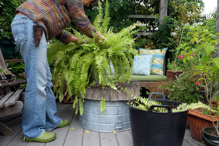 tidying a Boston fern