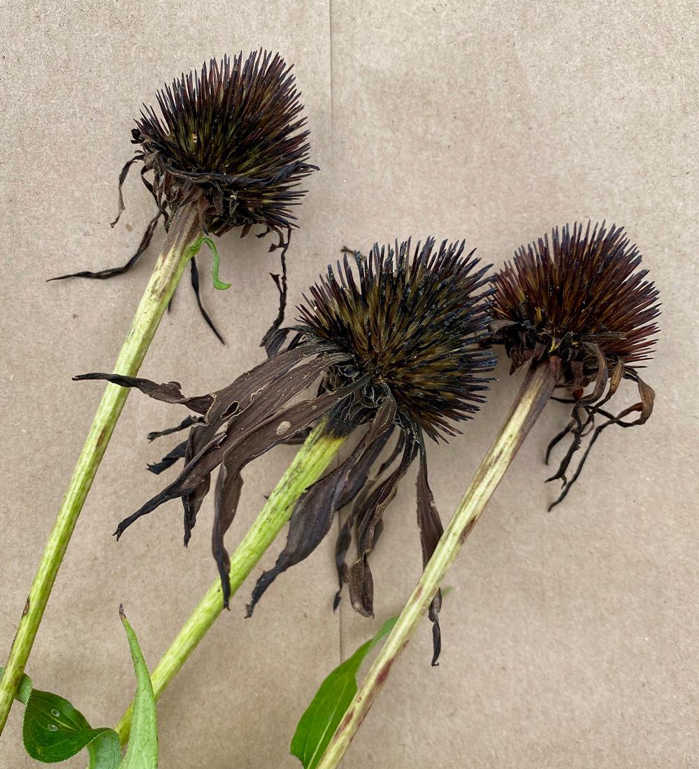 dried coneflowers