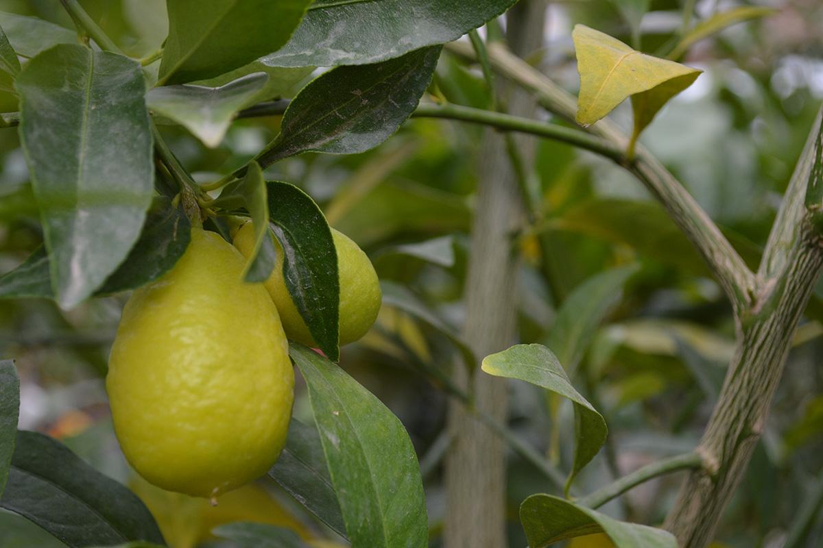 lemon tree fruiting