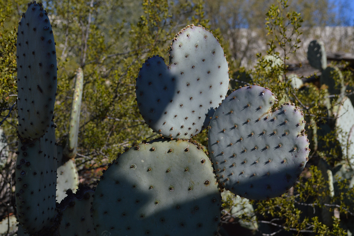 overgrown prickly pear