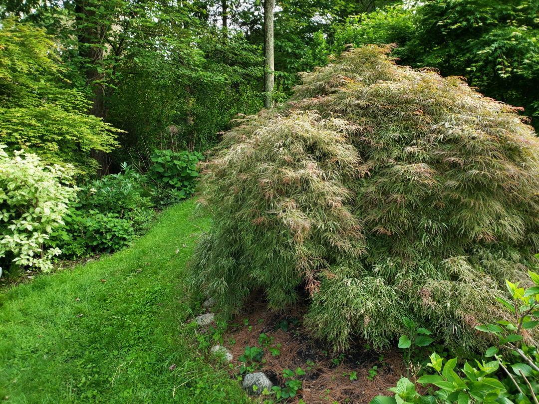 Shrubs For High Impact Low Work Gardening Finegardening