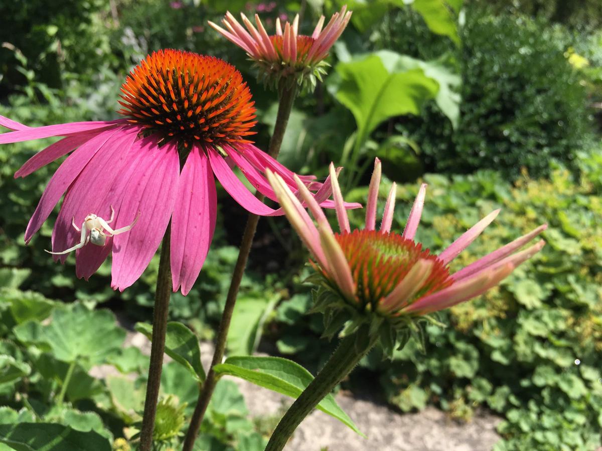 Coneflower seed heads