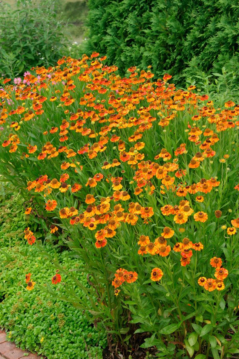 Helenium autumnale 'Moerheim Beauty'