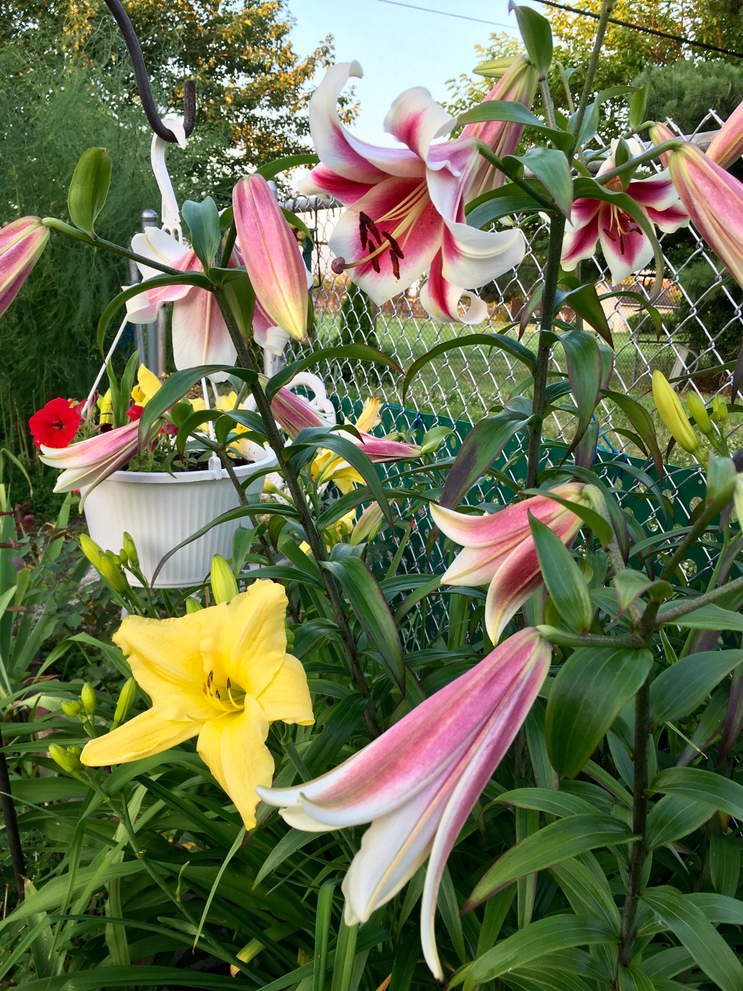 lilies and daylilies