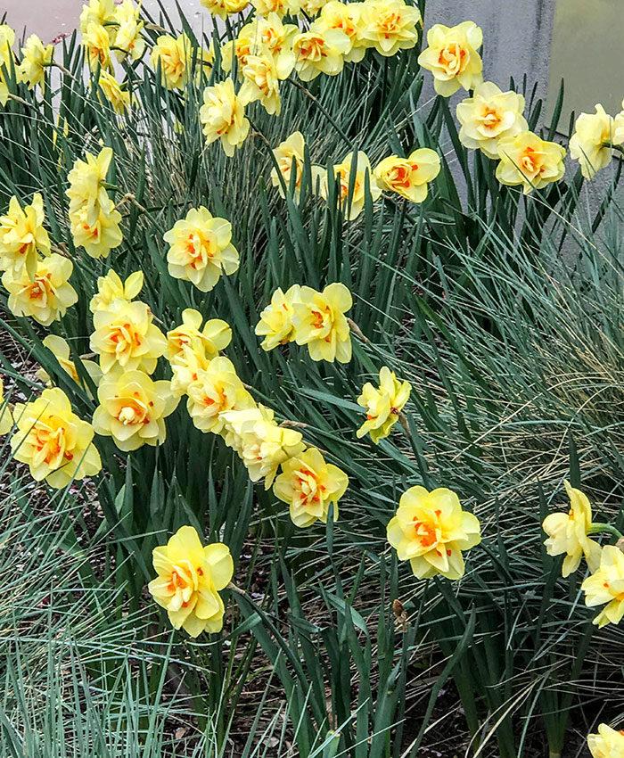 'Tahiti' daffodils