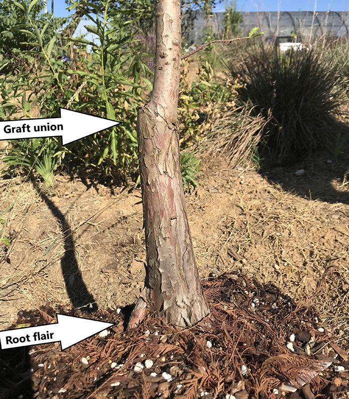 graft union and root flair