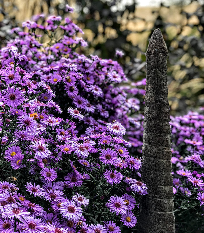 'Purple Dome' asters