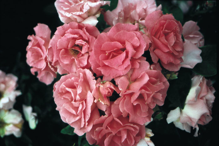 'Zepherine Drouhin' star roses