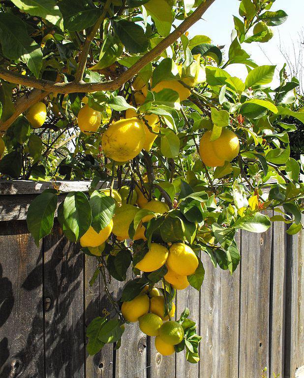 'Eureka' lemon tree
