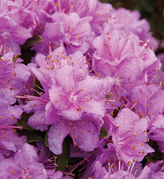 'Purple Gem' rhododendron