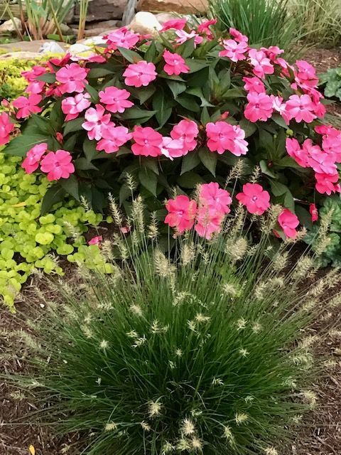 Little Bunny miniature fountain grass