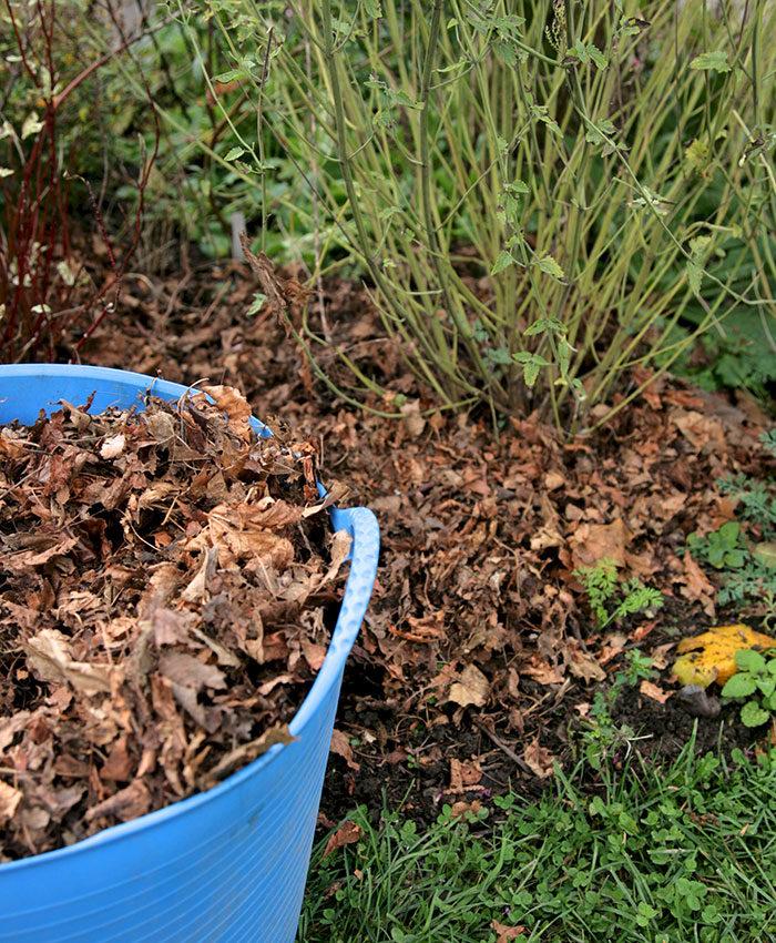 shredded leaves as mulch