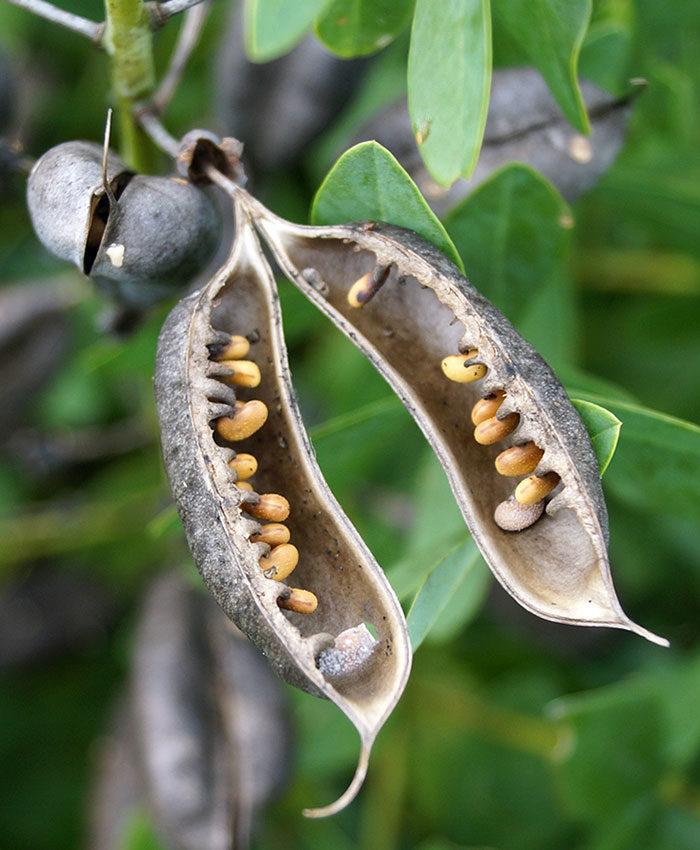 'Purple Smoke' false indigo seedpod