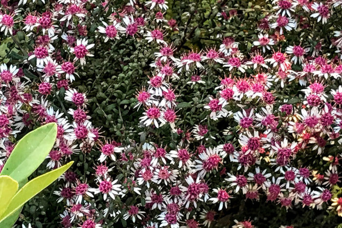 'Lady in Black' aster