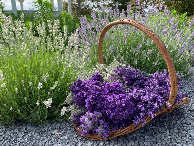 growing lavender