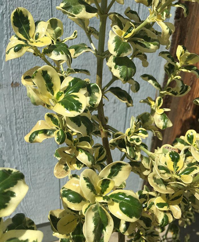 Dwarf variegated mirror plant