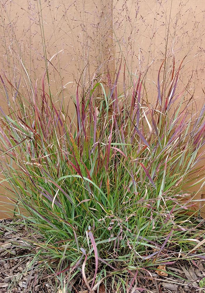 Prairie Winds® 'Cheyenne Sky' switch grass
