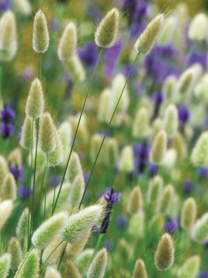 Bunny tail grass