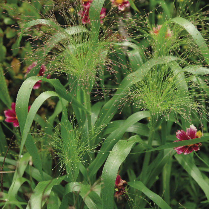 'Frosted Explosion' switchgrass