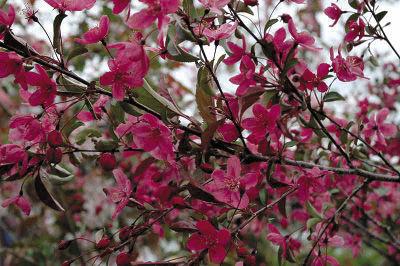 'Prairiefire' Flowering Crabapple