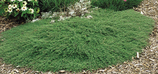 Creeping Woolly Thyme