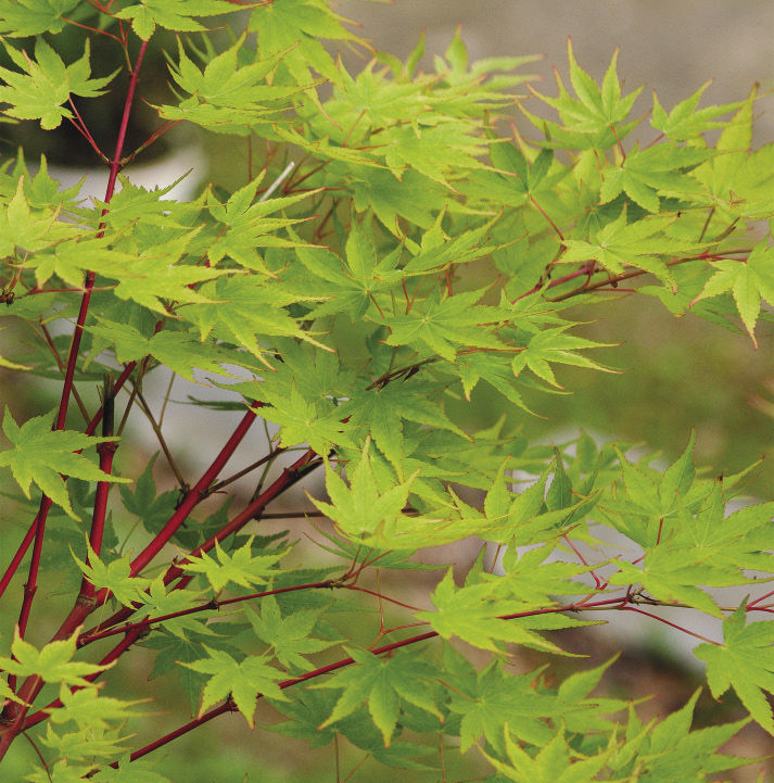Coralbark Japanese Maple