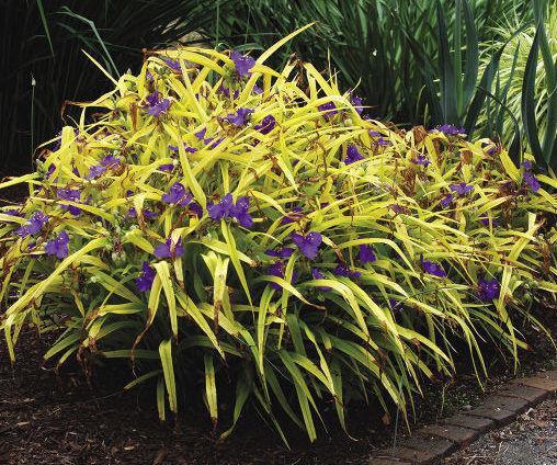'Blue and Gold' Spiderwort