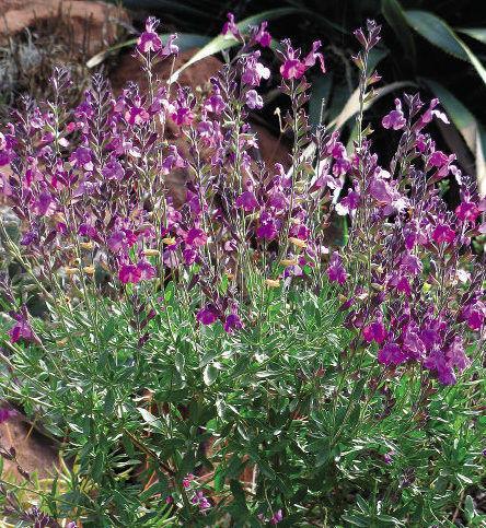 'Ultra Violet' Salvia