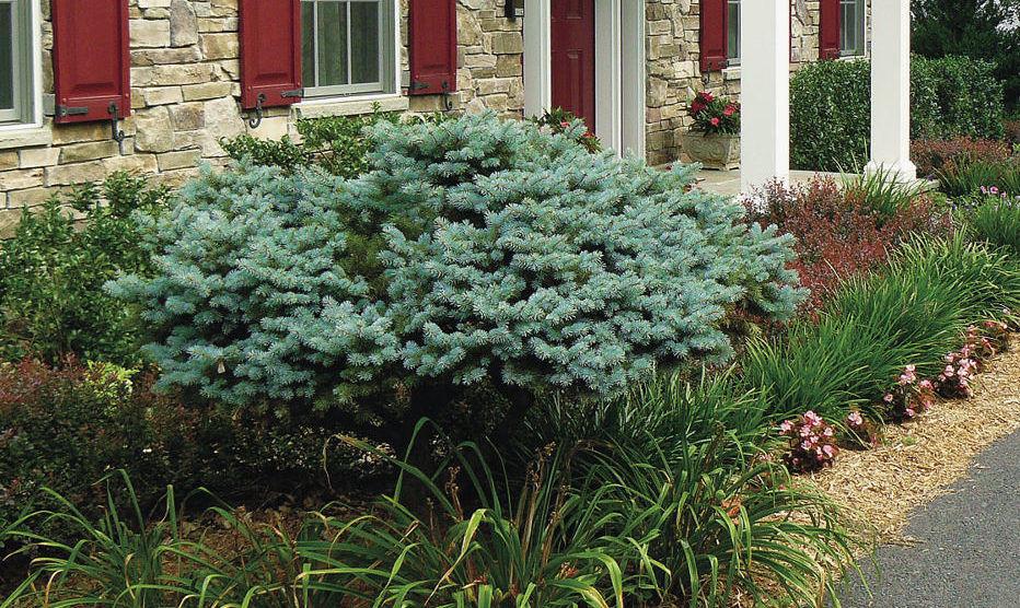 Globe Colorado blue spruce