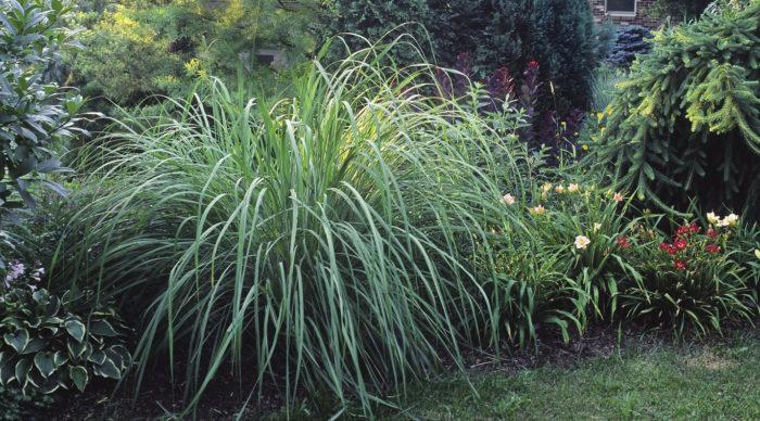 Ravenna grass
