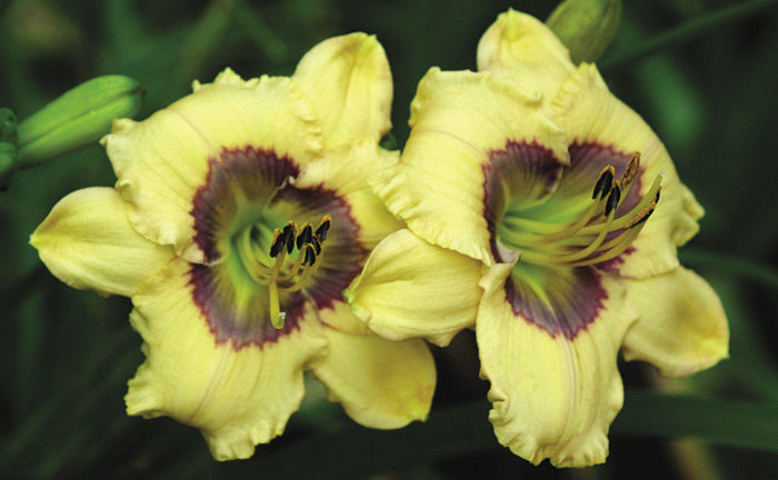 'Oceans Eleven' daylily