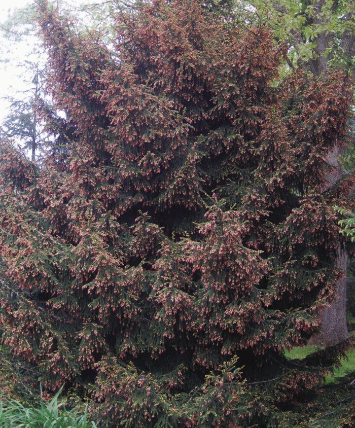 'Gowdy' Oriental spruce