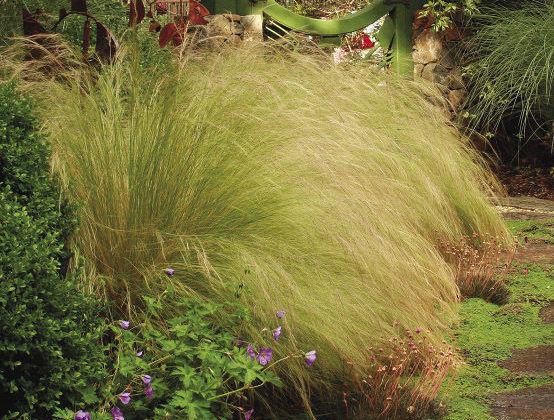 Mexican Feathergrass
