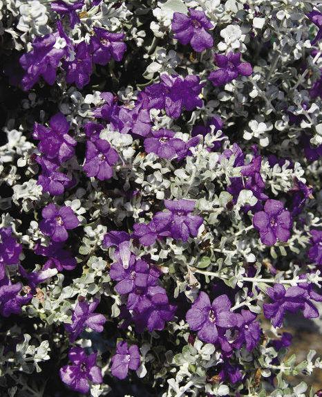 Thunder Cloud™ Violet Silverleaf