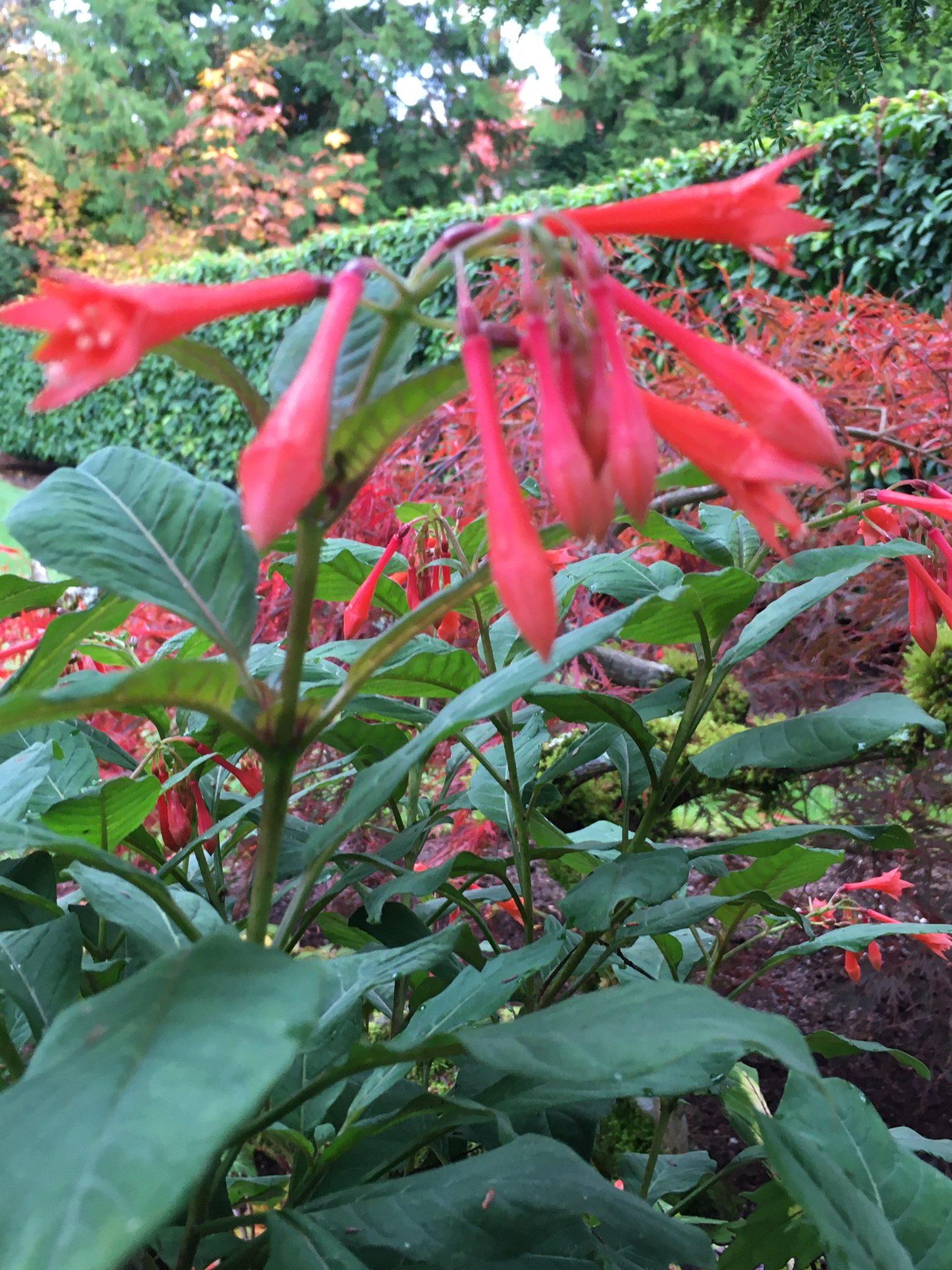 Fuchsia 'Gardenmeister'