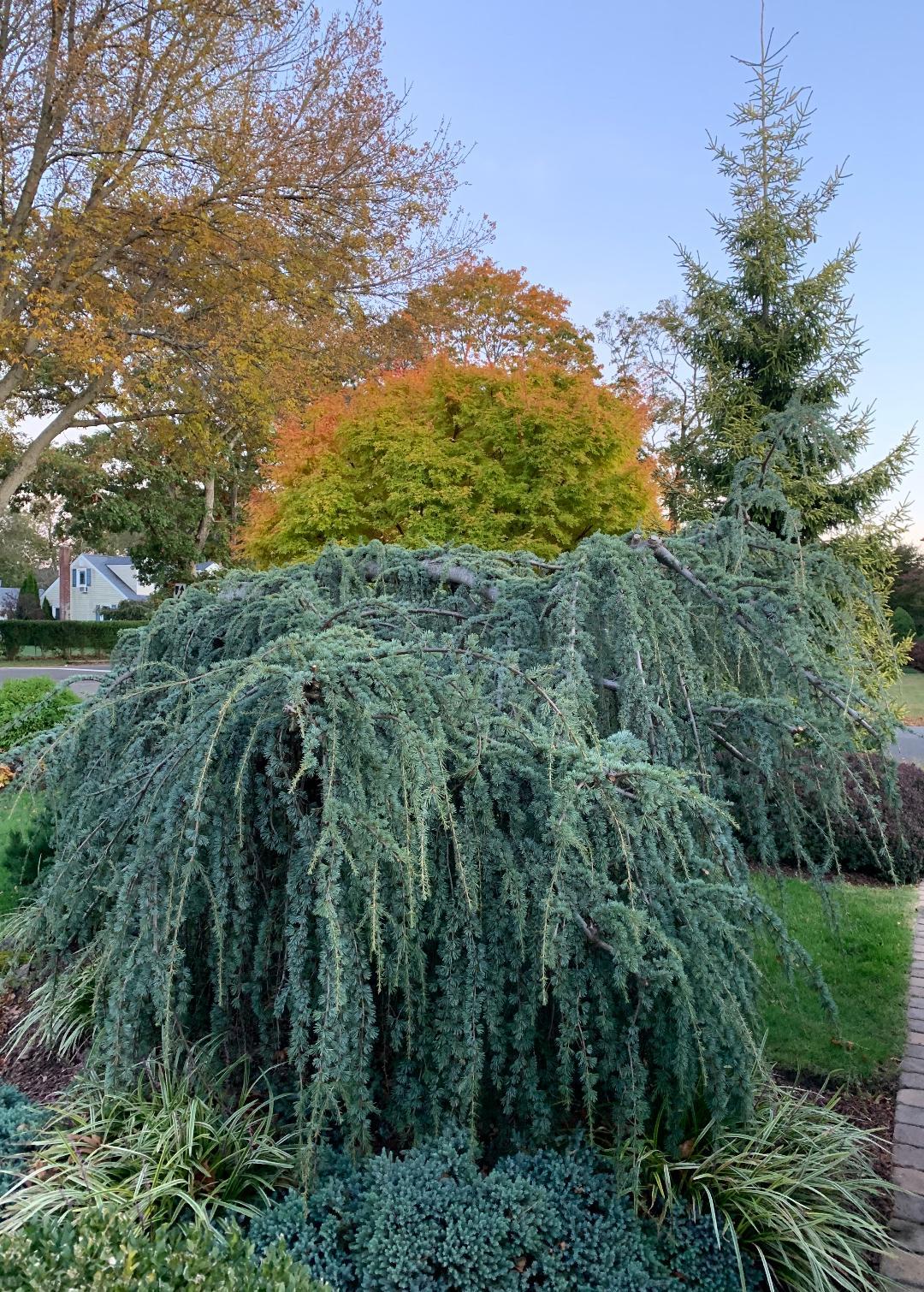 golden oriental spruce