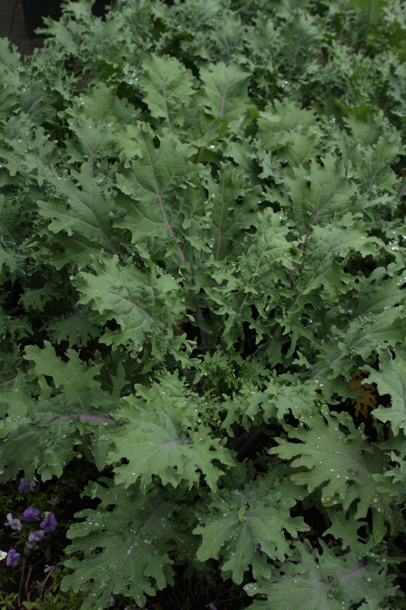 'Red Russian' kale is a great winter variety
