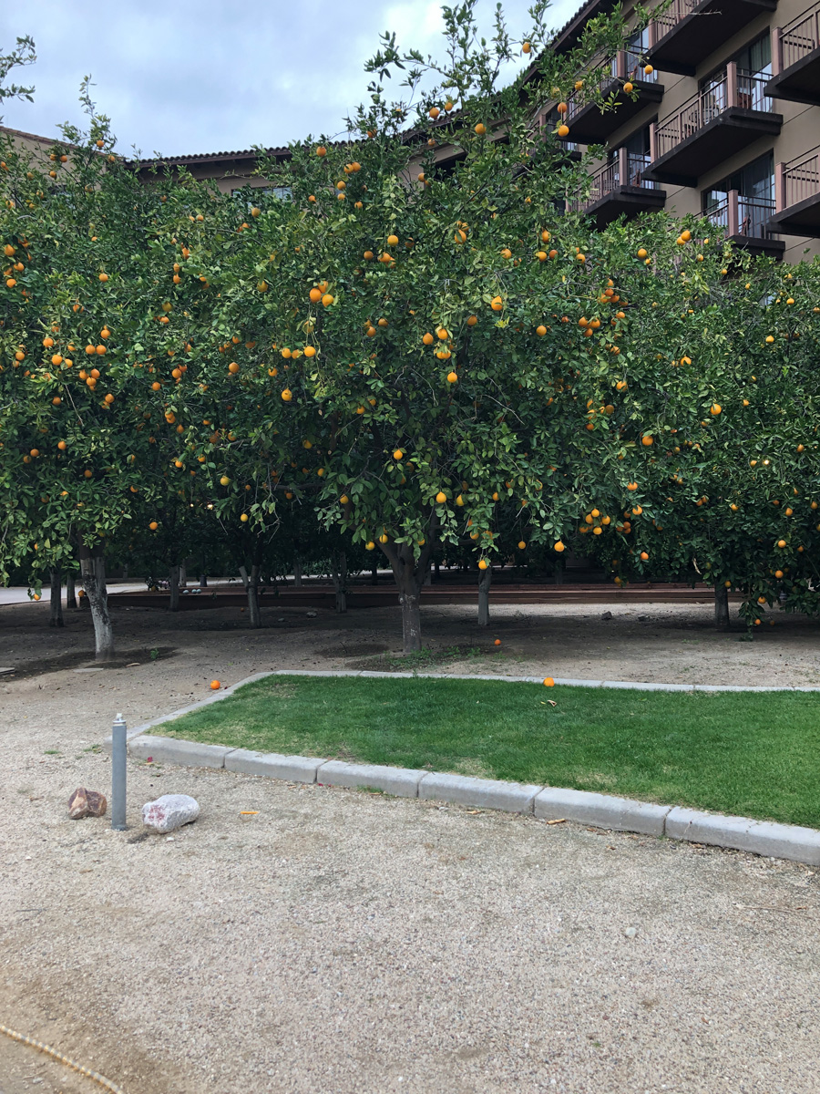 harvesting oranges from trees