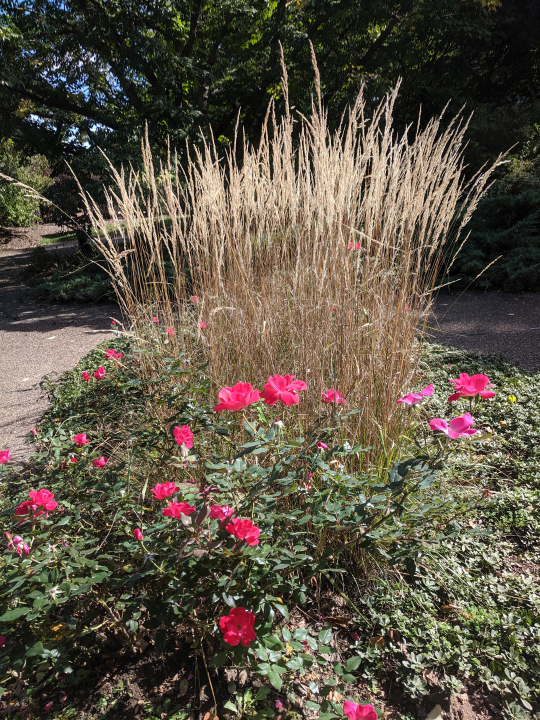 roses and ornamental grass